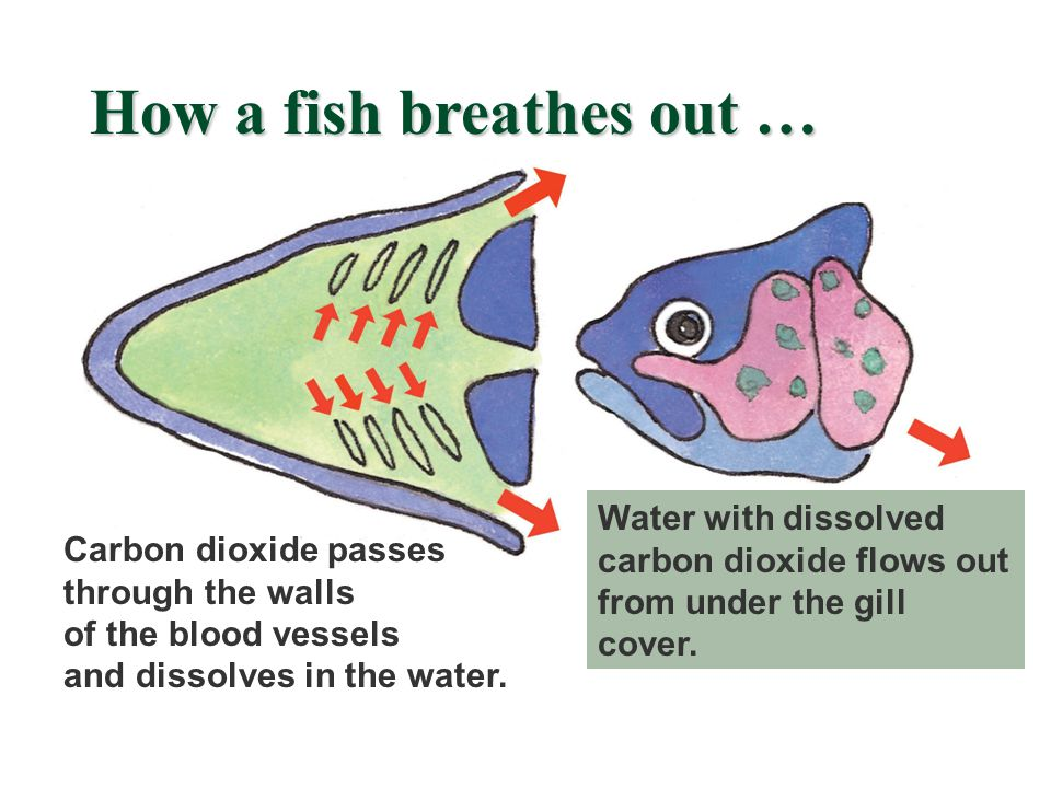 Carbon dioxide passes through the walls of the blood vessels and dissolves in the water.