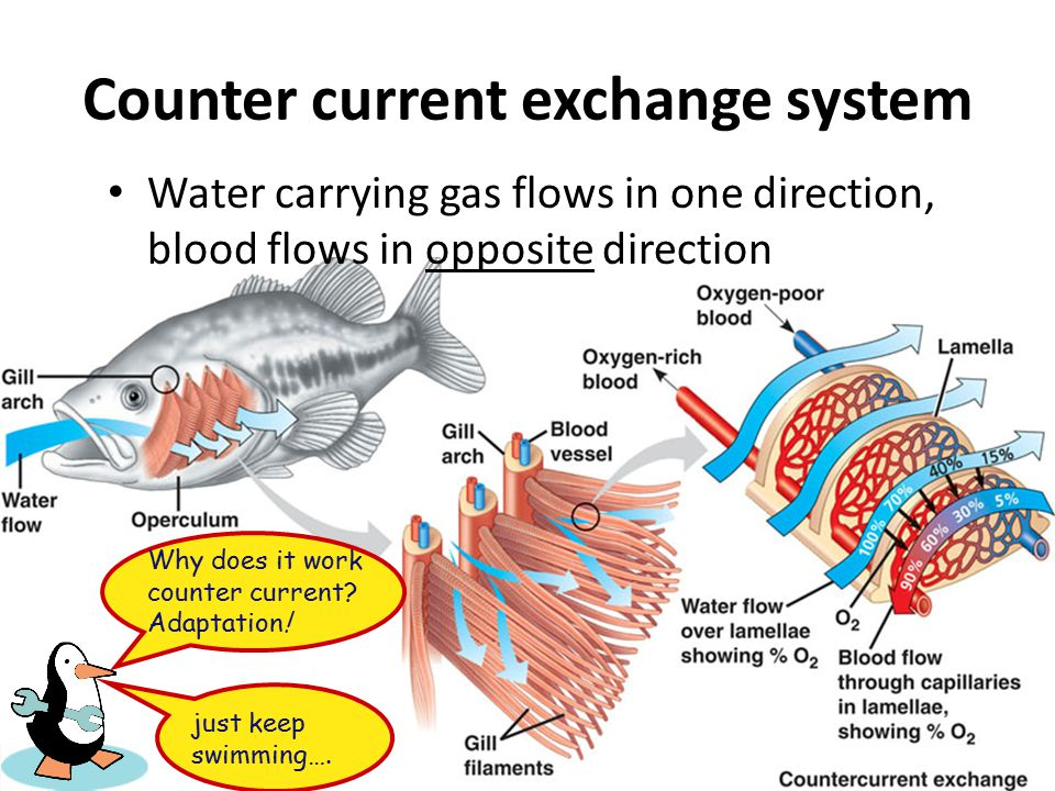 Gas Exchange in Water: Gills