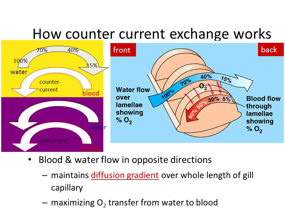 Counter current exchange system Water carrying gas flows in one direction, blood flows in opposite direction just keep swimming….