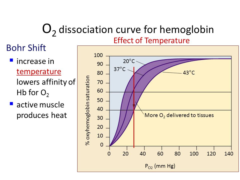O 2 dissociation curve for hemoglobin Bohr Shift  drop in pH lowers affinity of Hb for O 2  active tissue (producing CO 2 ) lowers blood pH & induces Hb to release more O 2 P O 2 (mm Hg) 0 10 20 30 40 50 60 70 80 90 100 020406080100120140 More O 2 delivered to tissues pH 7.60 pH 7.20 pH 7.40 % oxyhemoglobin saturation Effect of pH (CO 2 concentration)