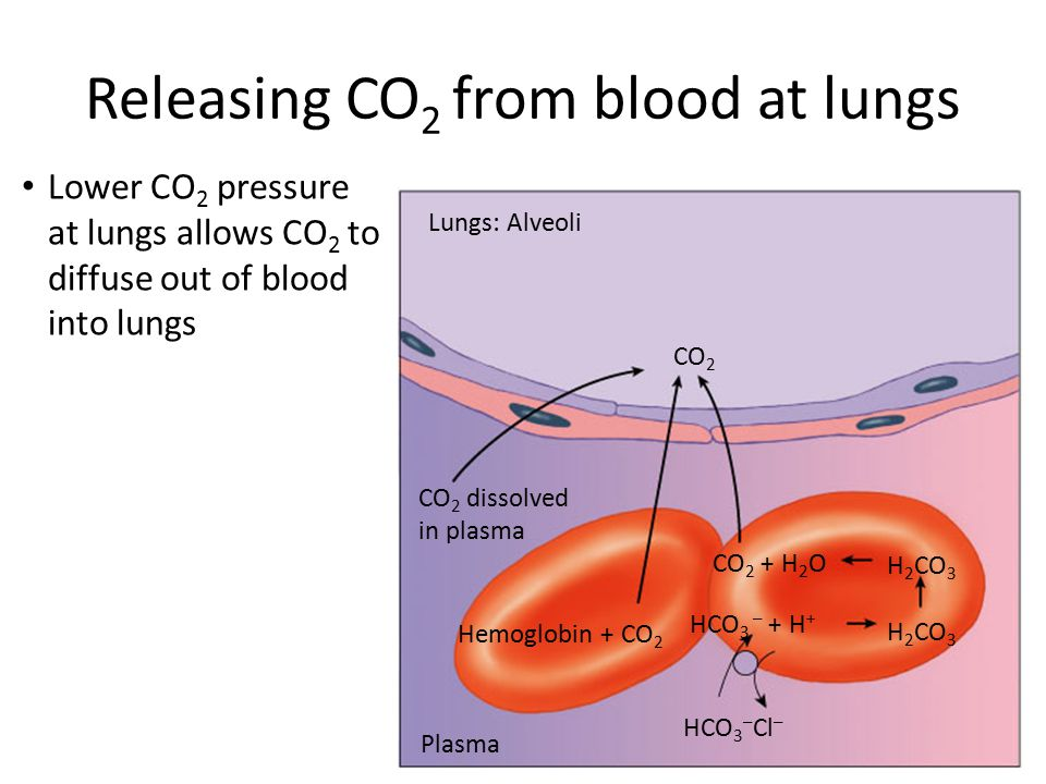 Transporting CO 2 in blood Tissue cells Plasma CO 2 dissolves in plasma CO 2 combines with Hb CO 2 + H 2 OH 2 CO 3 H+ + HCO 3 – HCO 3 – H 2 CO 3 CO 2 Carbonic anhydrase Cl– Dissolved in blood plasma as bicarbonate ion carbonic acid CO 2 + H 2 O  H 2 CO 3 bicarbonate H 2 CO 3  H + + HCO 3 – carbonic anhydrase