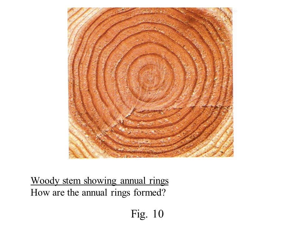 Woody stem showing annual rings How are the annual rings formed? Fig. 10