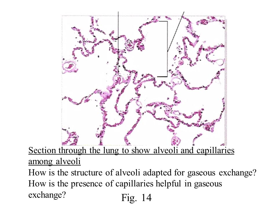 Section through the lung to show alveoli and capillaries among alveoli How is the structure of alveoli adapted for gaseous exchange? How is the presen