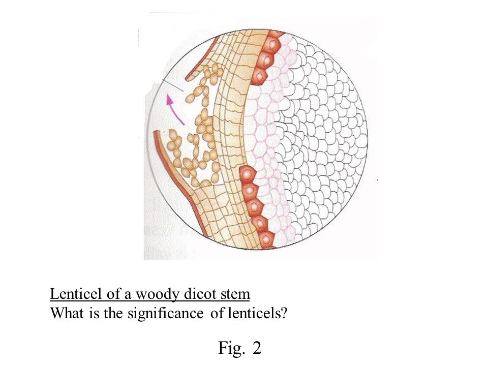 Vertical section of human ileum showing villi How is the structure of villi adapted for absorption of fats.