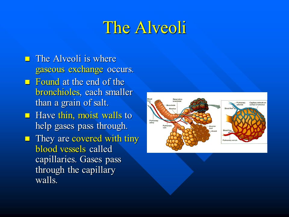 The Alveoli The Alveoli is where gaseous exchange occurs.