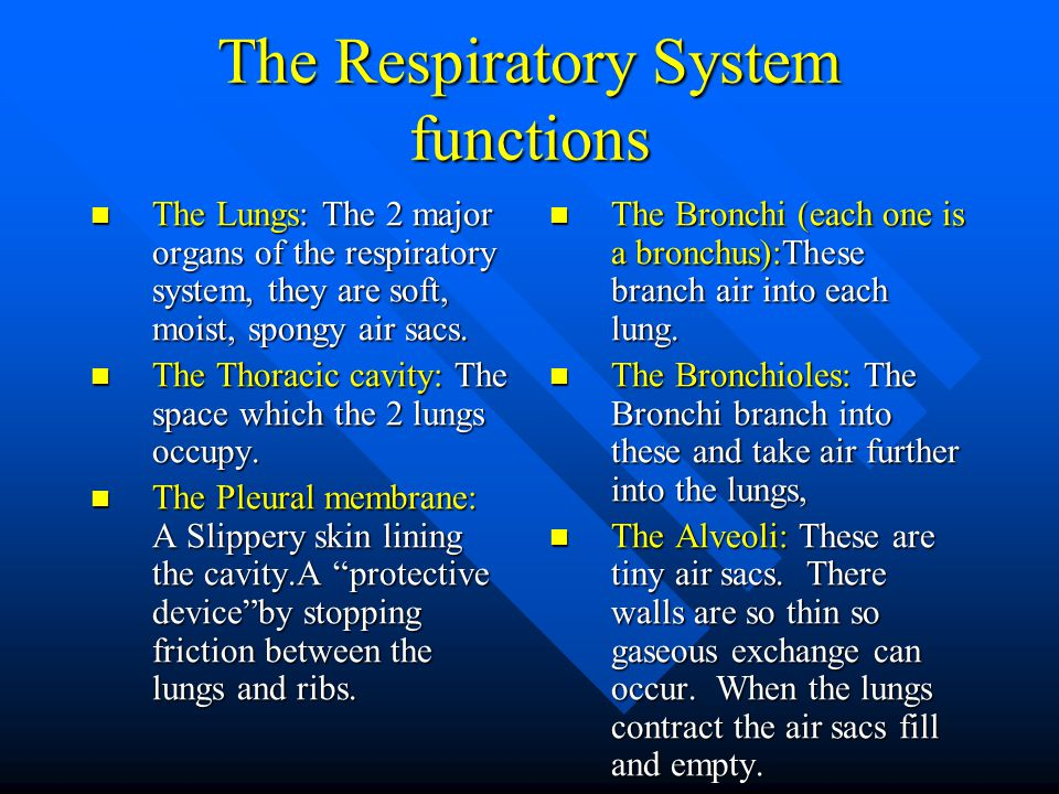 The Respiratory System functions The Lungs: The 2 major organs of the respiratory system, they are soft, moist, spongy air sacs.
