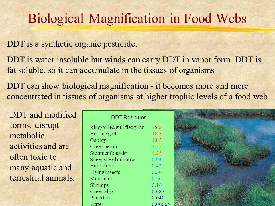 Biological Magnification in Food Webs DDT is a synthetic organic pesticide.