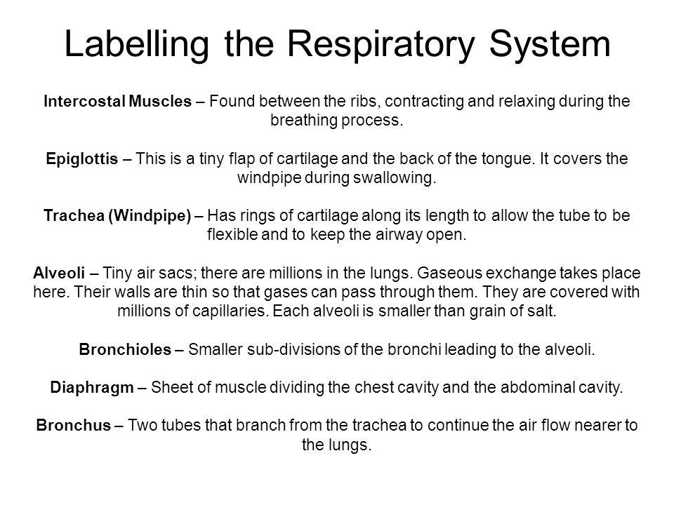 Labelling the Respiratory System Intercostal Muscles – Found between the ribs, contracting and relaxing during the breathing process. Epiglottis – Thi