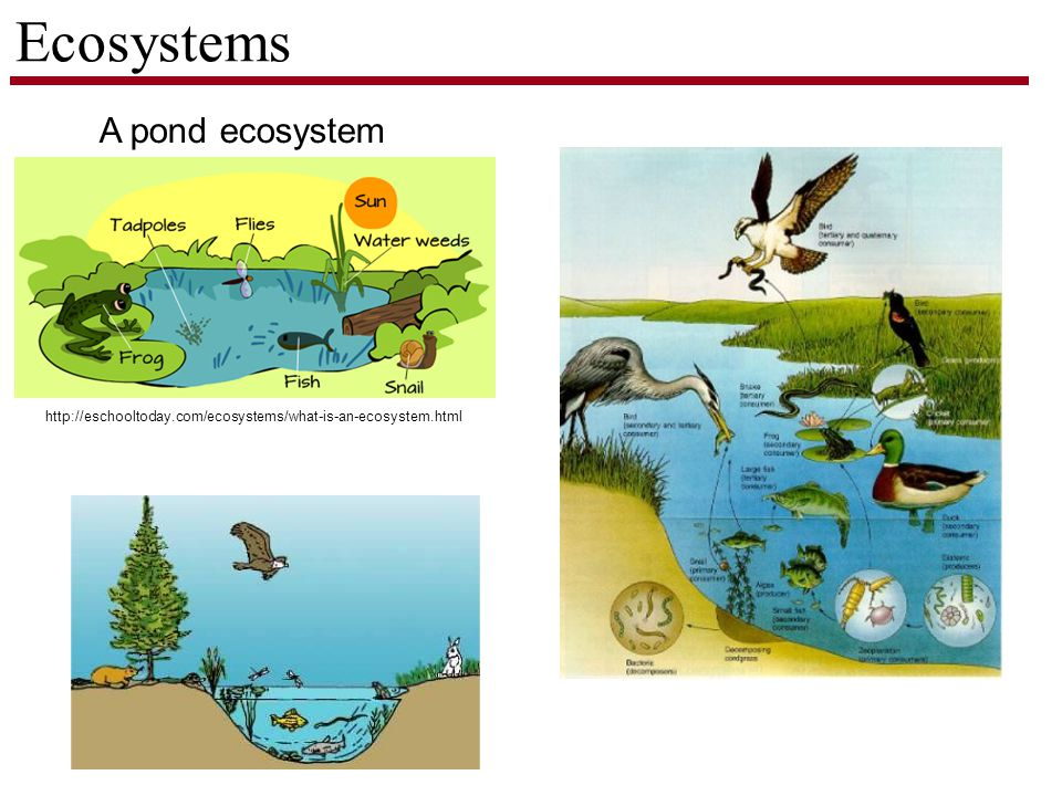 Ecosystems http://eschooltoday.com/ecosystems/what-is-an-ecosystem.html A pond ecosystem