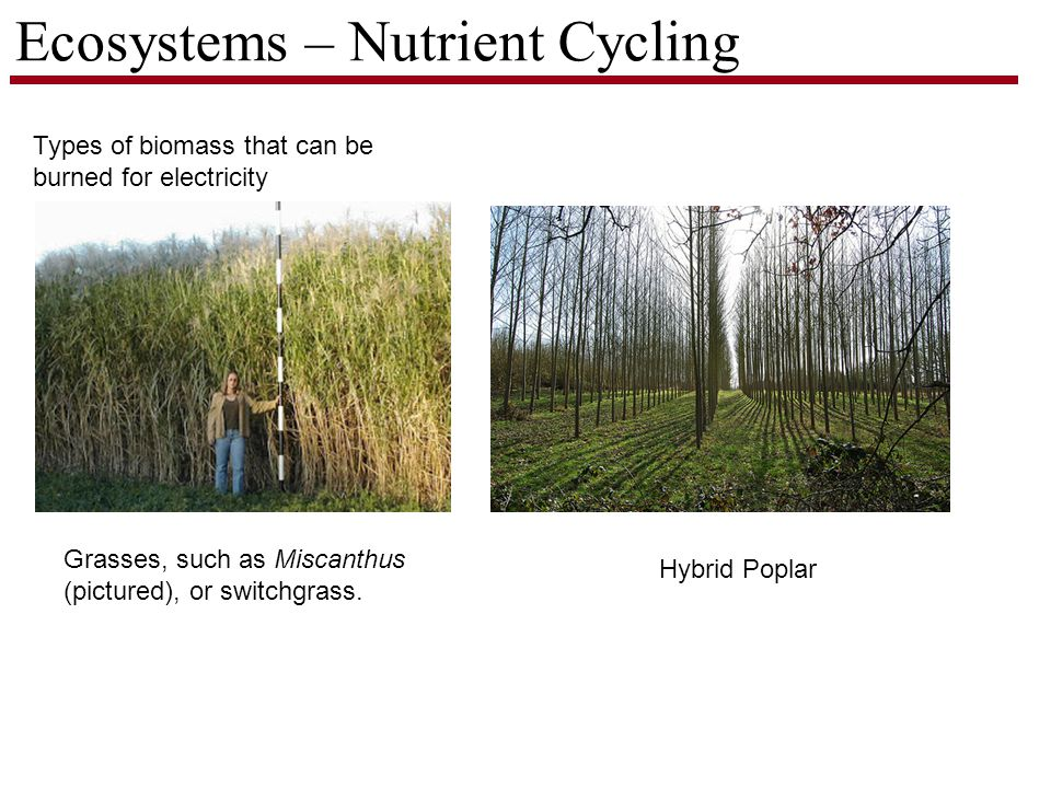 Ecosystems – Nutrient Cycling Types of biomass that can be burned for electricity Grasses, such as Miscanthus (pictured), or switchgrass.