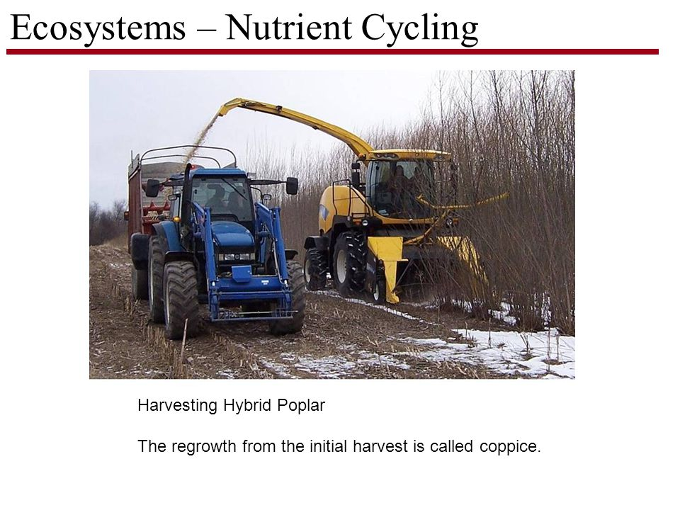 Ecosystems – Nutrient Cycling Harvesting Hybrid Poplar The regrowth from the initial harvest is called coppice.