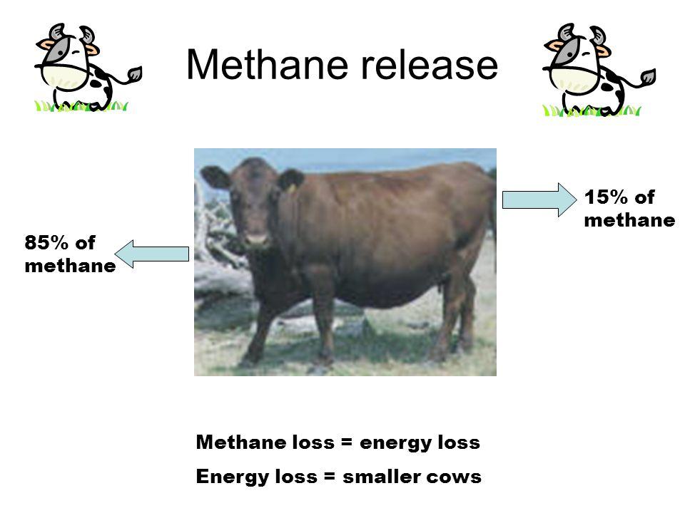 Methane release 85% of methane 15% of methane Methane loss = energy loss Energy loss = smaller cows