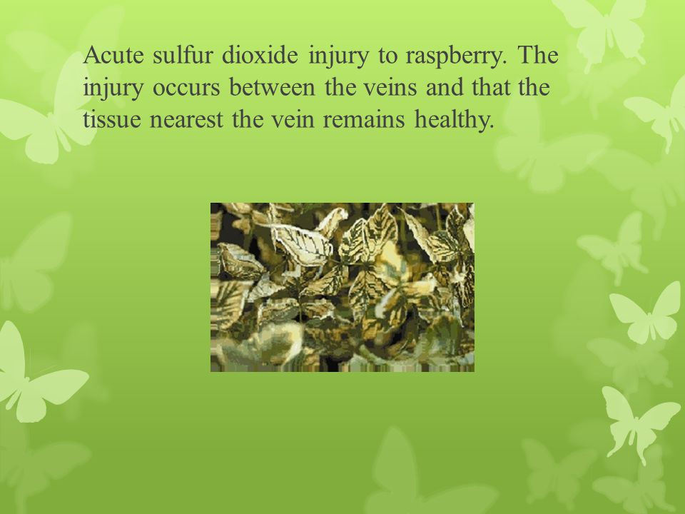 Acute sulfur dioxide injury to raspberry. The injury occurs between the veins and that the tissue nearest the vein remains healthy.