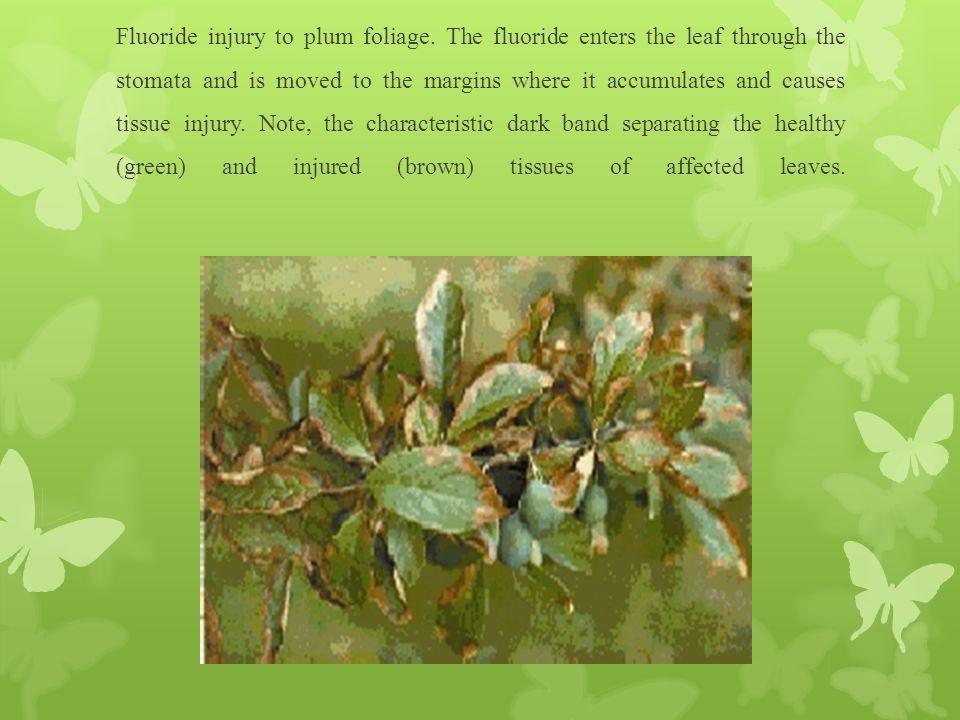 Fluoride injury to plum foliage.