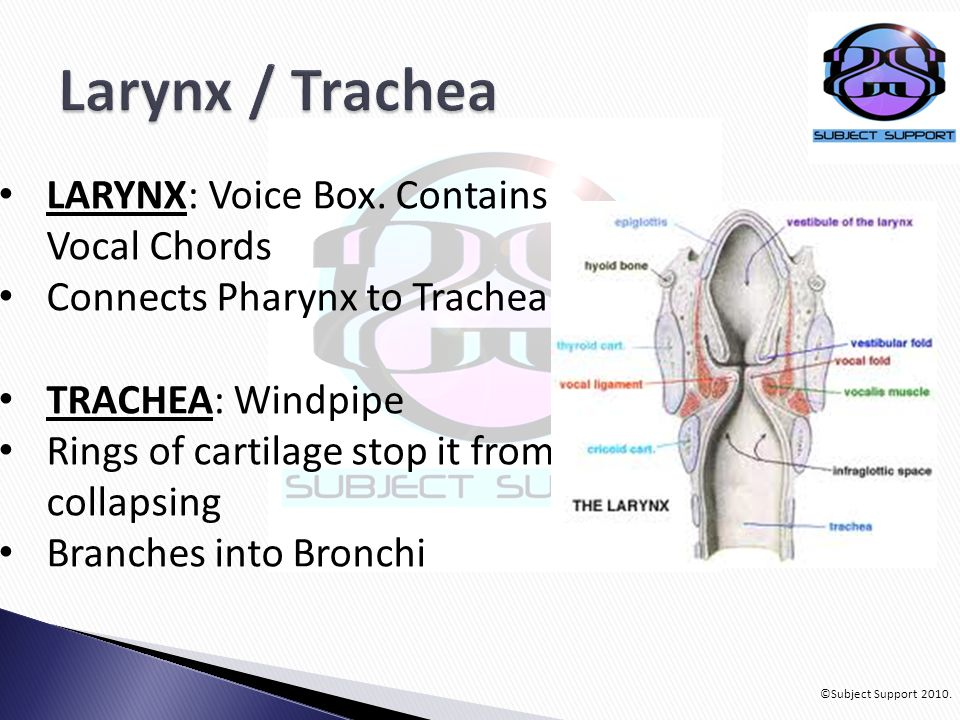 ©Subject Support 2010. LARYNX: Voice Box. Contains Vocal Chords Connects Pharynx to Trachea TRACHEA: Windpipe Rings of cartilage stop it from collapsi