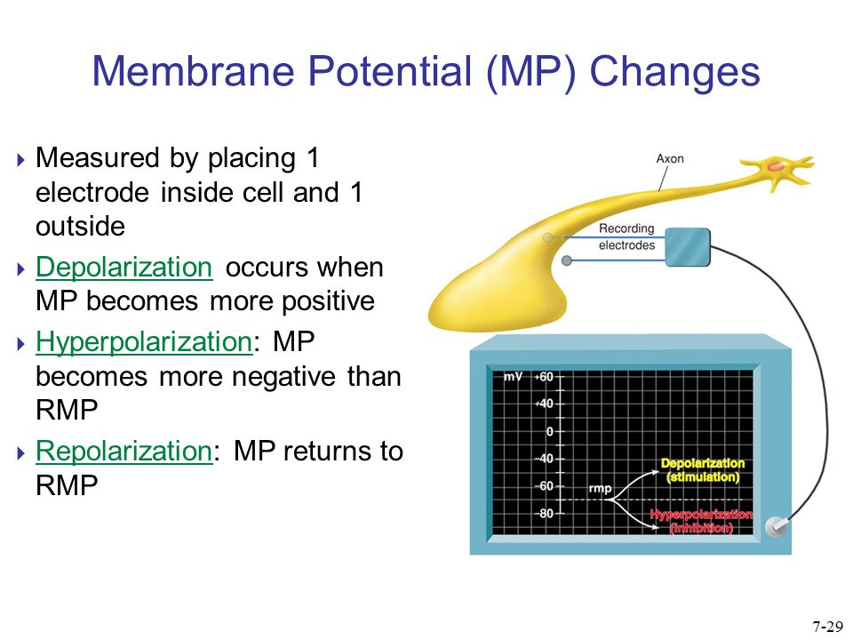 Membrane Potential (MP) Changes  Measured by placing 1 electrode inside cell and 1 outside  Depolarization occurs when MP becomes more positive  Hy