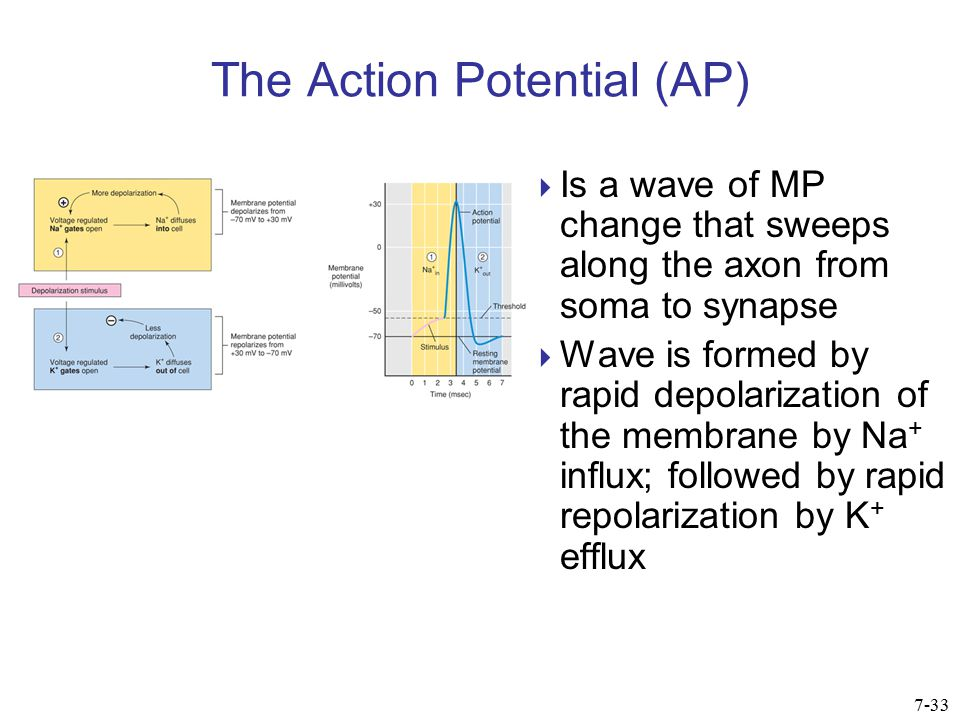Mechanism of Action Potential  Depolarization:  At threshold, VG Na + channels open  Na+ driven inward by its electrochemical gradient  This adds to depolarization, opens more channels  Termed a positive feedback loop  Causes a rapid change in MP from –70 to +30 mV 7-34