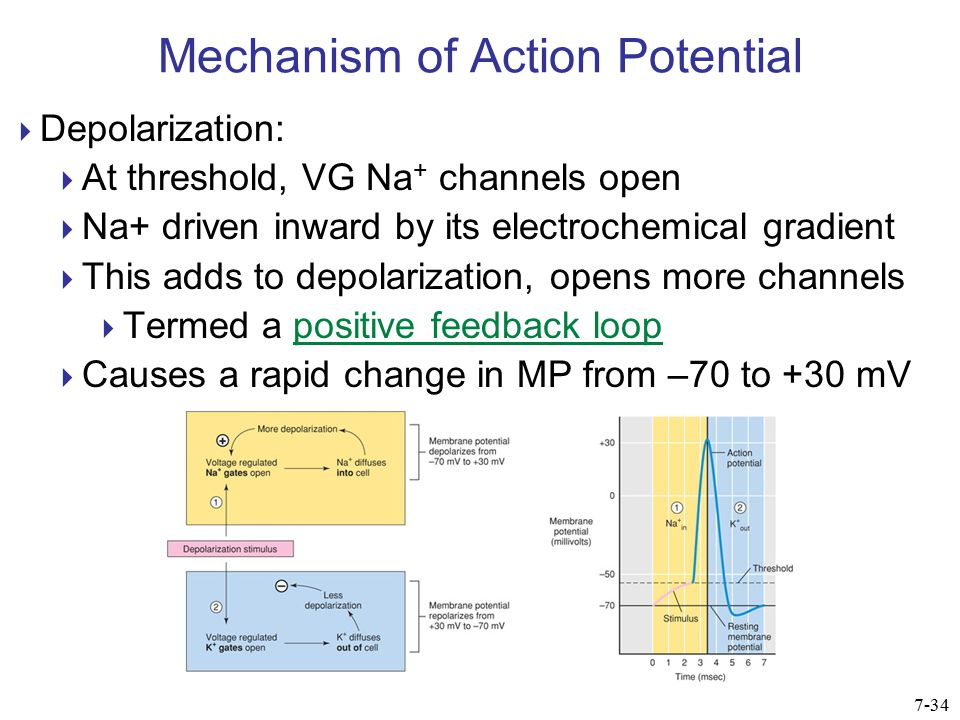 Mechanism of Action Potential  Depolarization:  At threshold, VG Na + channels open  Na+ driven inward by its electrochemical gradient  This adds