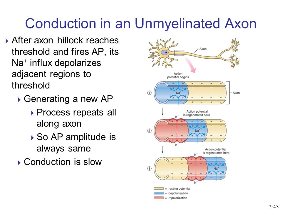 Conduction in an Unmyelinated Axon  After axon hillock reaches threshold and fires AP, its Na + influx depolarizes adjacent regions to threshold  Ge