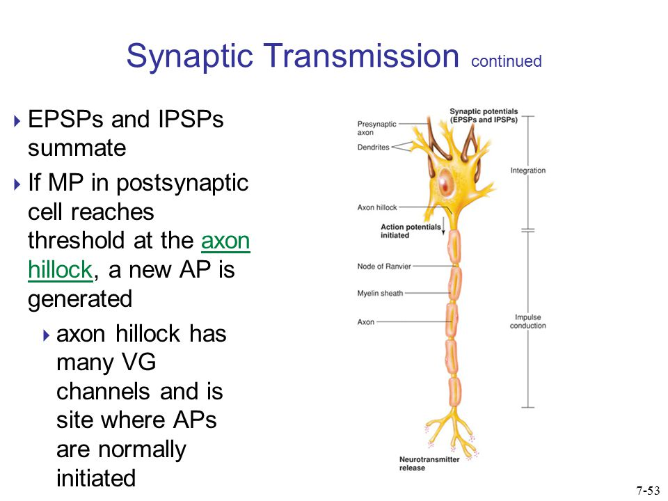 Synaptic Transmission continued 7-54