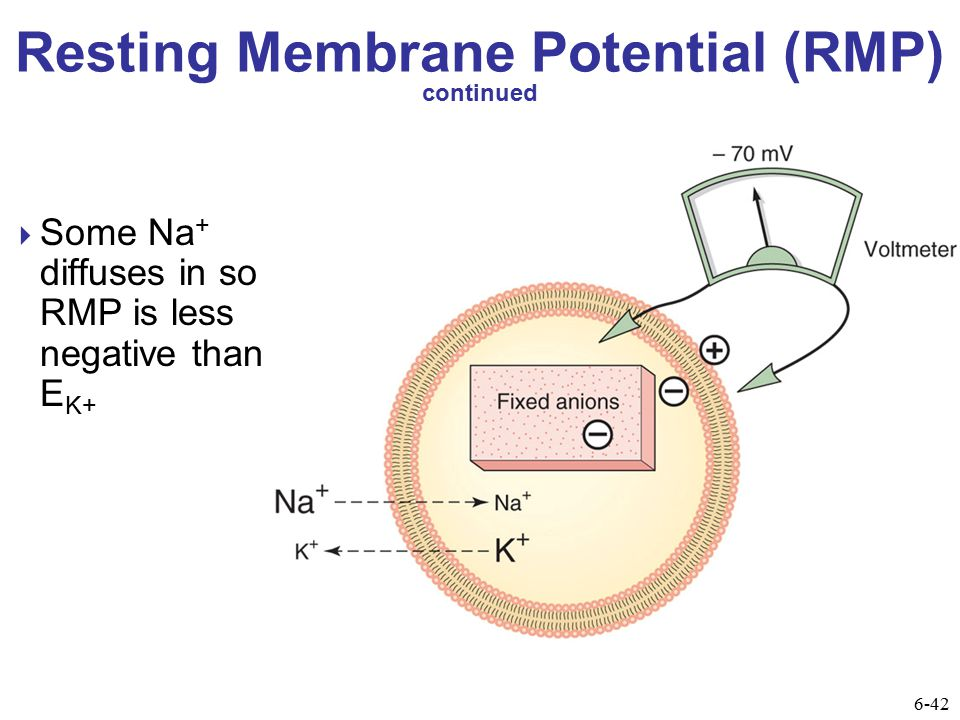 Summary of Processes that Affect the Resting Membrane Potential 6-44