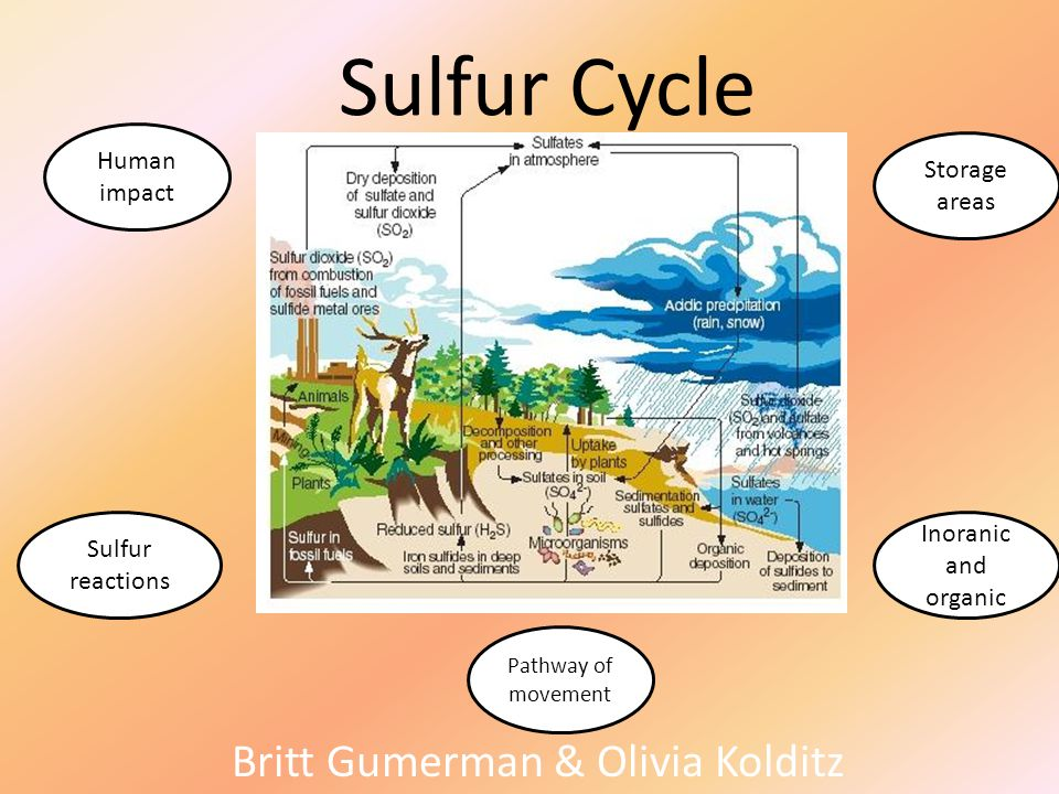Sulfur Cycle Britt Gumerman & Olivia Kolditz Pathway of movement Sulfur reactions Storage areas Inoranic and organic Human impact