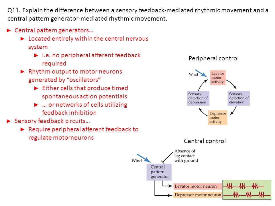 ► Central pattern generators… ► Located entirely within the central nervous system ► i.e.