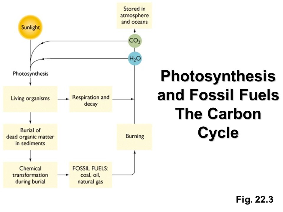 Fig. 22.3 Photosynthesis and Fossil Fuels The Carbon Cycle