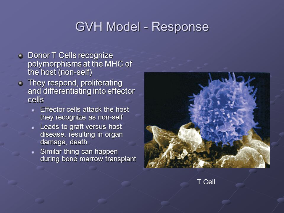 GVH Model - Response Donor T Cells recognize polymorphisms at the MHC of the host (non-self) They respond, proliferating and differentiating into effector cells Effector cells attack the host they recognize as non-self Effector cells attack the host they recognize as non-self Leads to graft versus host disease, resulting in organ damage, death Leads to graft versus host disease, resulting in organ damage, death Similar thing can happen during bone marrow transplant Similar thing can happen during bone marrow transplant T Cell