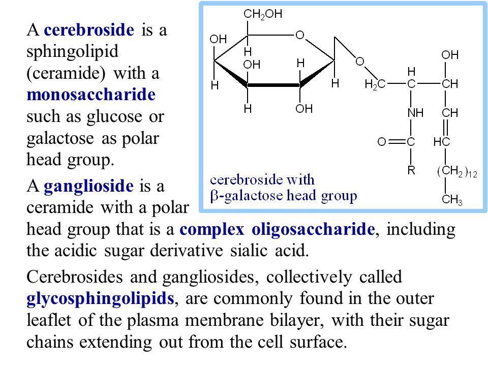 Sphingomyelin, with a phosphocholine head group, is similar in size and shape to the glycerophospholipid phosphatidyl choline.