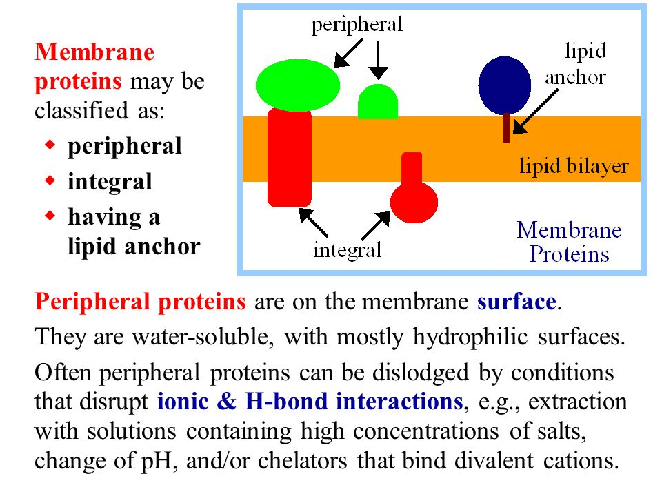 Flip-flop would require the polar head-group of a lipid to traverse the hydrophobic core of the membrane.