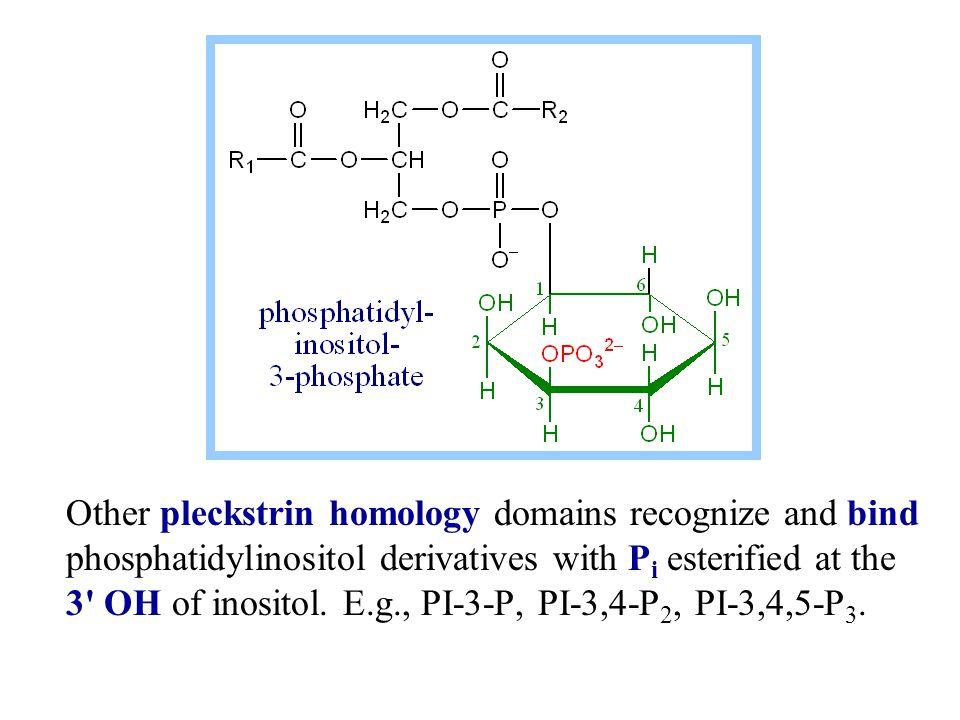 E.g., pleckstrin homology (PH) domains bind to phosphorylated derivatives of phosphatidylinositol.