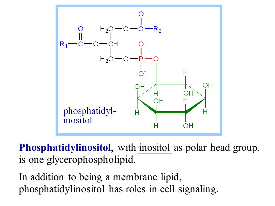 In an  -helix, amino acid R-groups protrude out from the helically coiled polypeptide backbone.