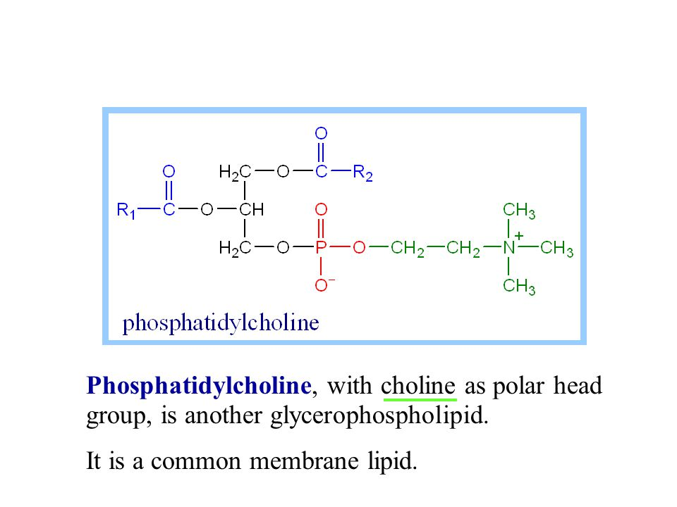 Phosphatidylcholine, with choline as polar head group, is another glycerophospholipid.