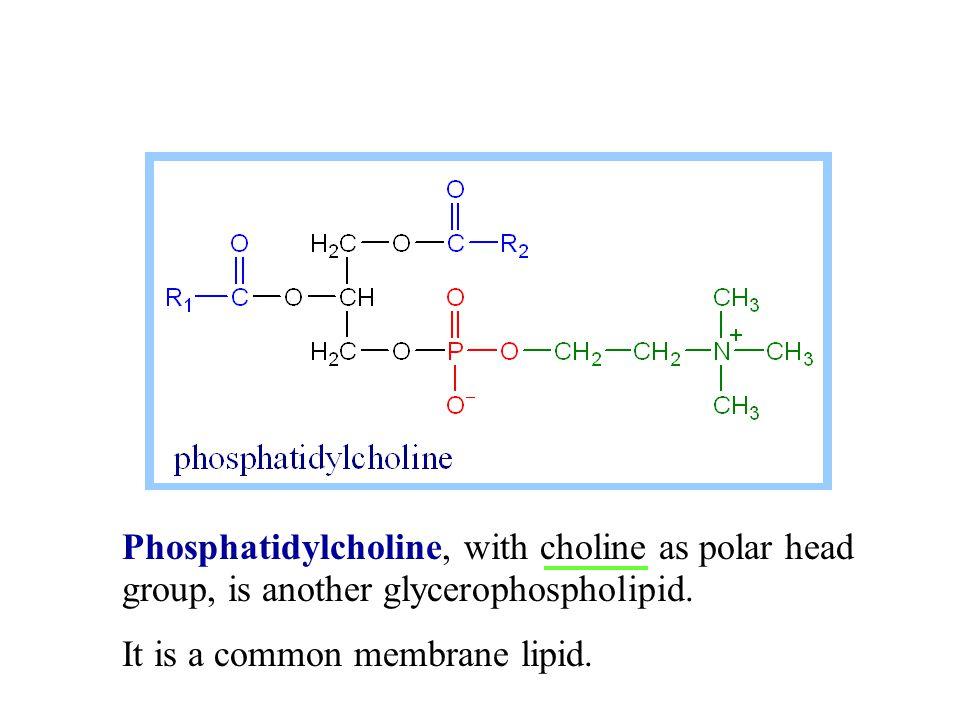 Phosphatidylinositol, with inositol as polar head group, is one glycerophospholipid.
