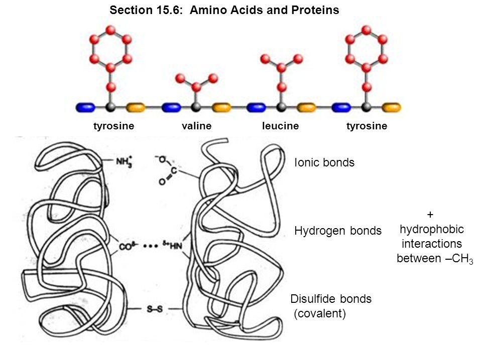 valinetyrosineleucinetyrosine Ionic bonds Hydrogen bonds Disulfide bonds (covalent) + hydrophobic interactions between –CH 3