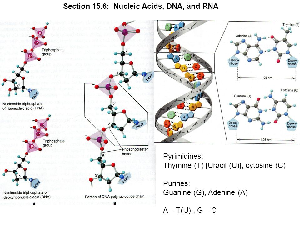 Section 15.6: Nucleic Acids, DNA, and RNA Pyrimidines: Thymine (T) [Uracil (U)], cytosine (C) Purines: Guanine (G), Adenine (A) A – T(U), G – C