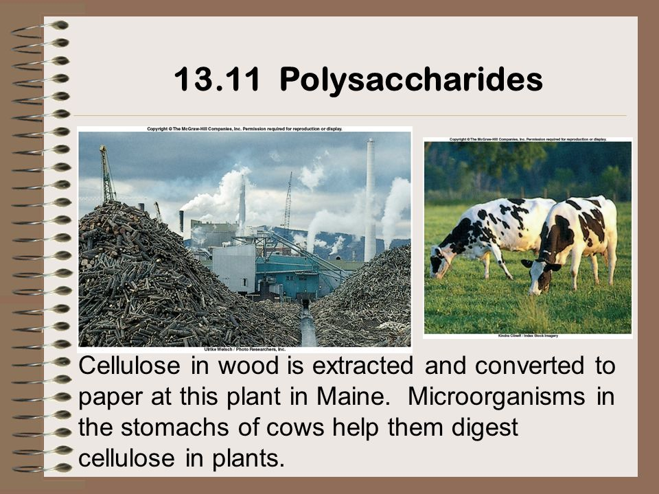 Cellulose in wood is extracted and converted to paper at this plant in Maine. Microorganisms in the stomachs of cows help them digest cellulose in pla