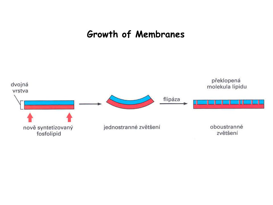 Growth of Membranes