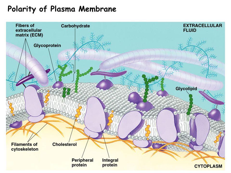 Polarity of Plasma Membrane