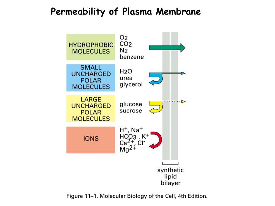 Permeability of Plasma Membrane