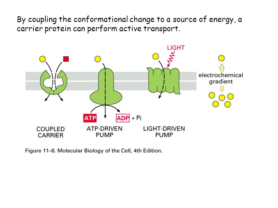 By coupling the conformational change to a source of energy, a carrier protein can perform active transport.