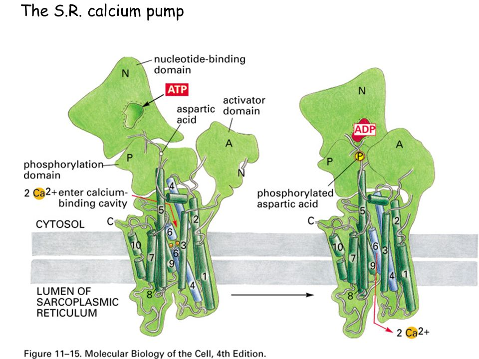 The S.R. calcium pump