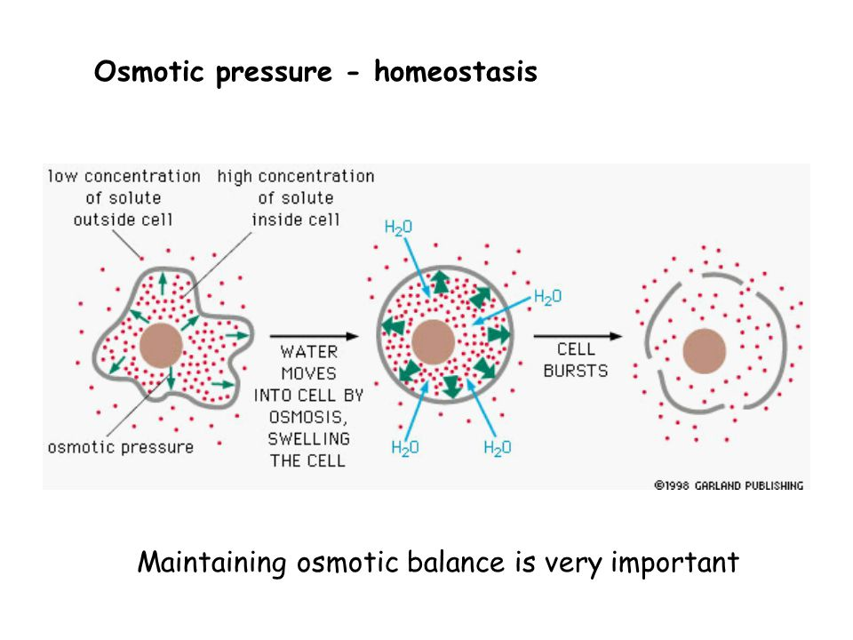 Maintaining osmotic balance is very important Osmotic pressure - homeostasis