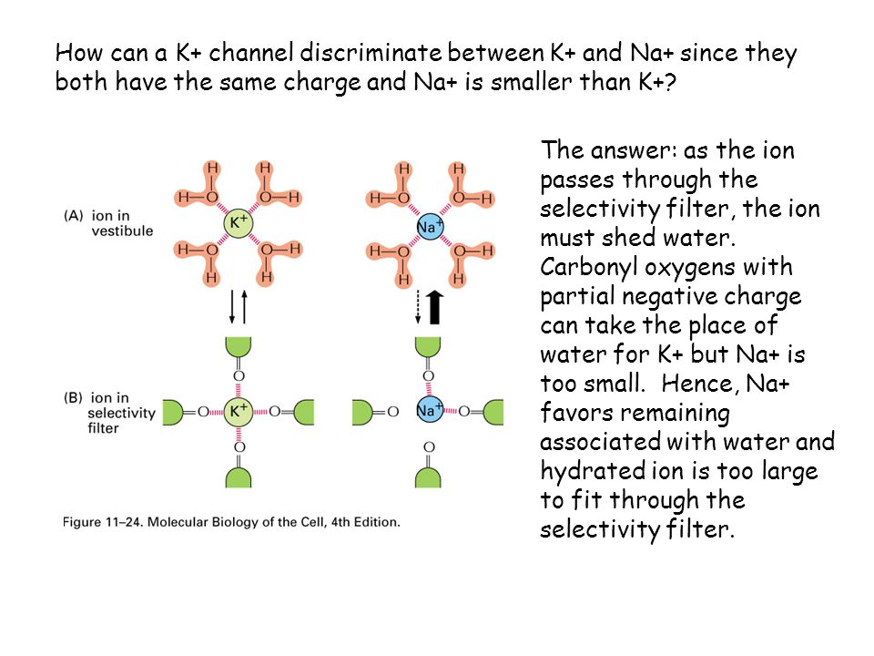 How can a K+ channel discriminate between K+ and Na+ since they both have the same charge and Na+ is smaller than K+? The answer: as the ion passes th