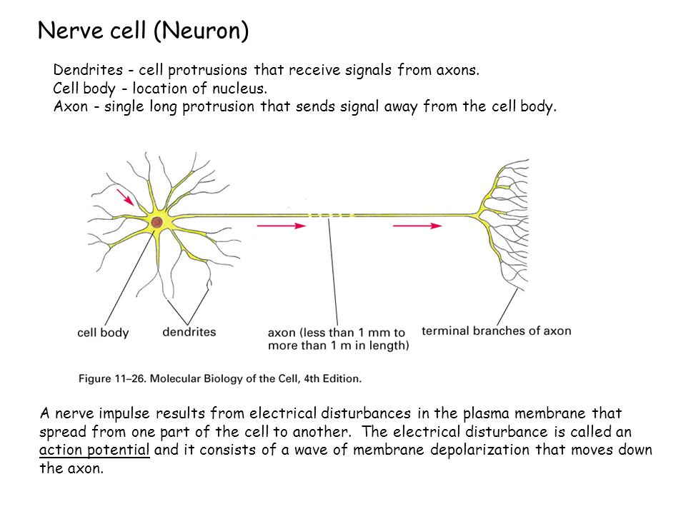 Nerve cell (Neuron) A nerve impulse results from electrical disturbances in the plasma membrane that spread from one part of the cell to another. The