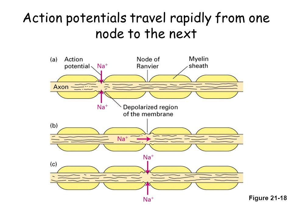 Action potentials travel rapidly from one node to the next Figure 21-18