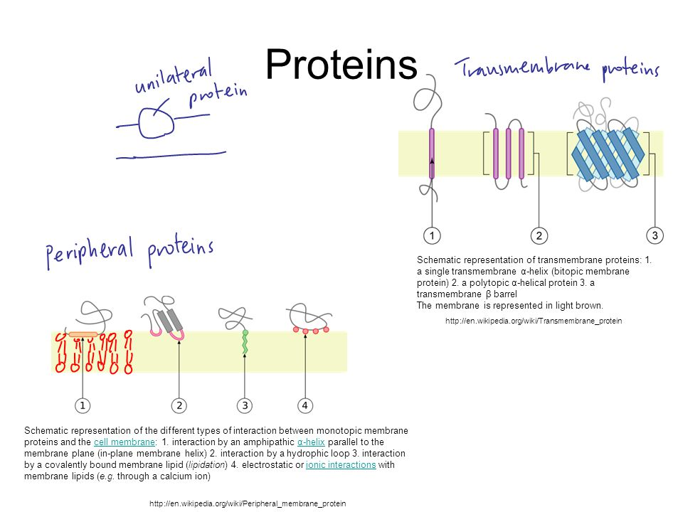 Proteins Schematic representation of the different types of interaction between monotopic membrane proteins and the cell membrane: 1. interaction by a