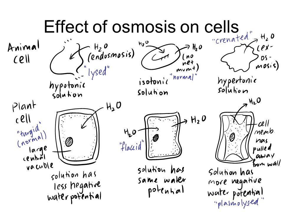 Effect of osmosis on cells