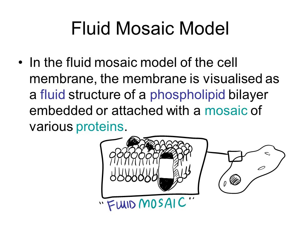 Fluid Mosaic Model In the fluid mosaic model of the cell membrane, the membrane is visualised as a fluid structure of a phospholipid bilayer embedded